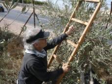 Oliveharvestoct20162